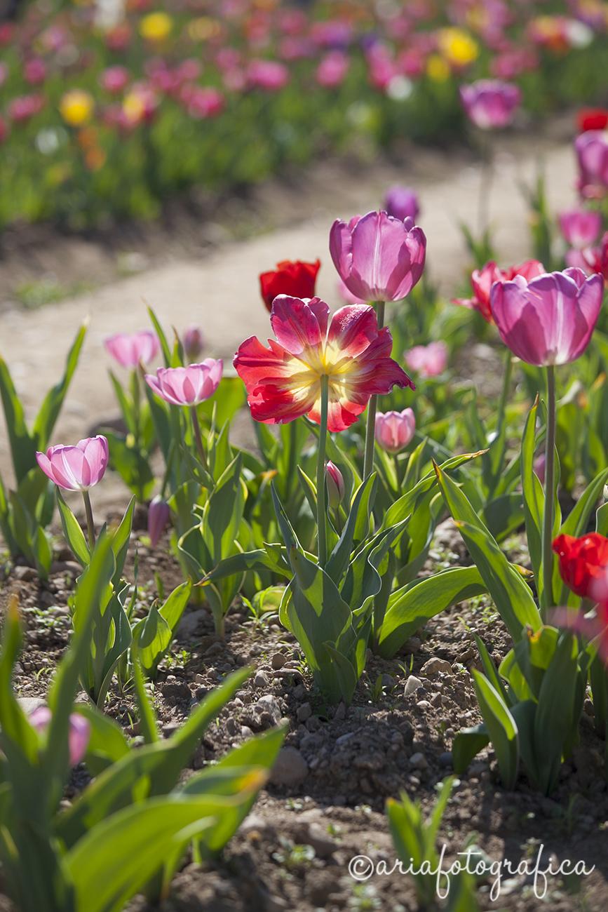 Tulipani01