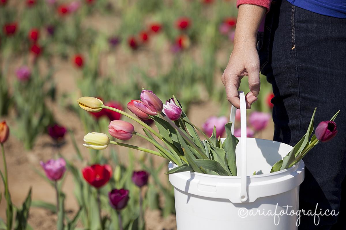 Tulipani02