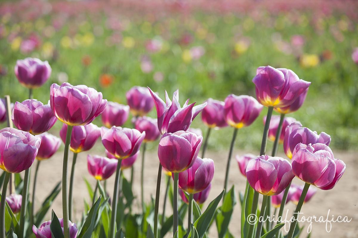 Tulipani03