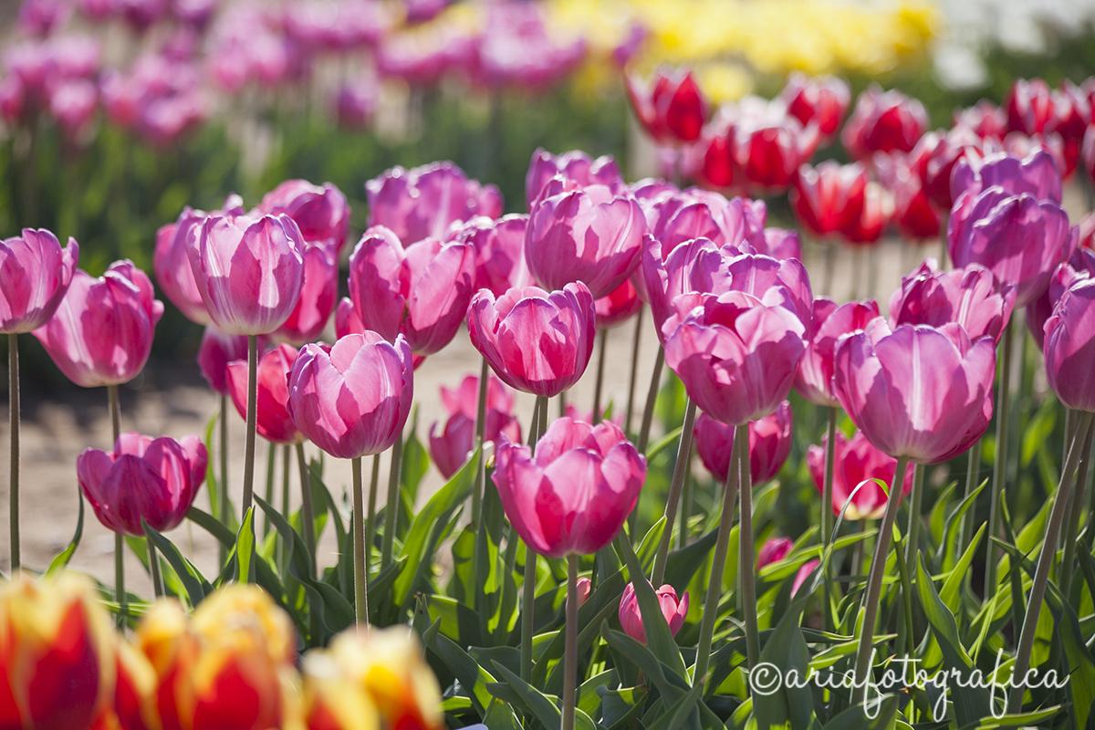 Tulipani08