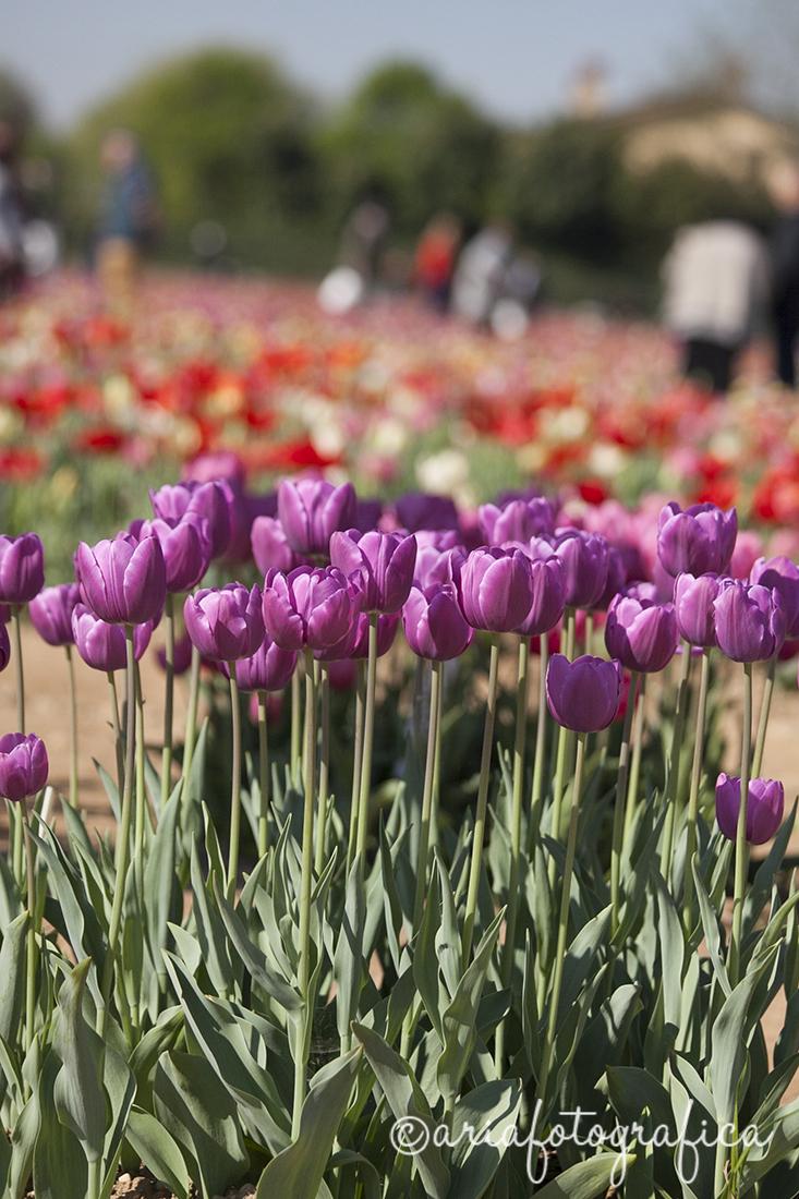 Tulipani09
